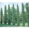 Lowe's Garden Center ~ 3.25-Gallon Italian Cypress Tree ($24.98)