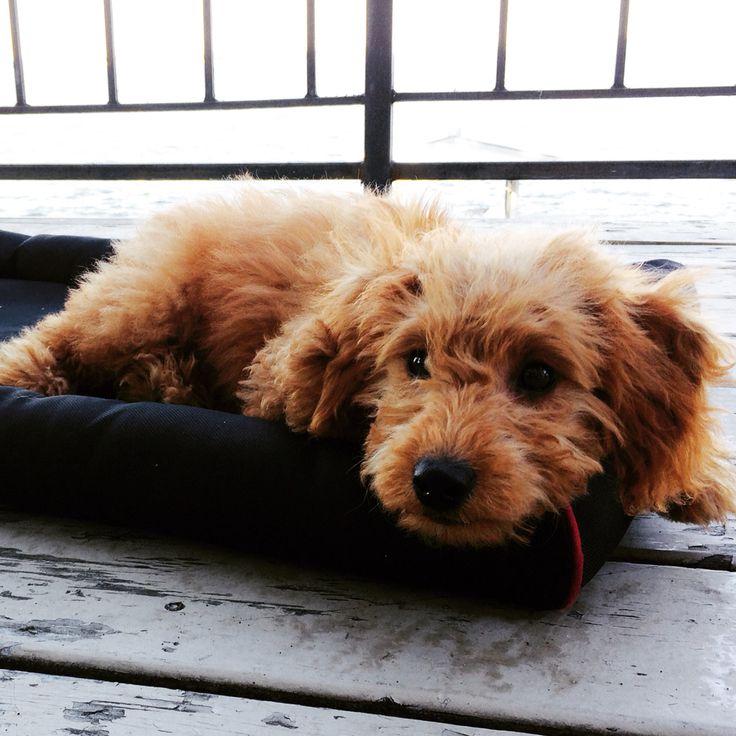 Mini Goldendoodle - adorable!