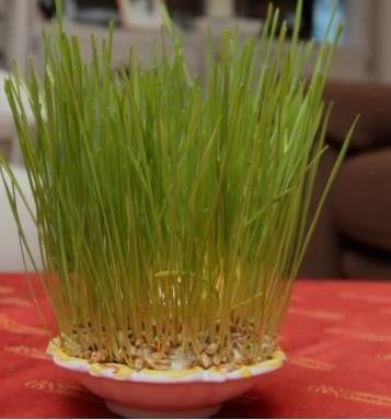 Aujourd'hui 4 décembre, jour de la Sainte Barbe ! En #Provence, on plante le blé. C'est une vieille tradition. S'il pousse bien, l'année qui vient sera prospère ! C'est bien entendu ce que je vous souhaite à tous ! Moi, je n'oublie jamais :) En savoir plus sur les traditions calendales - http://www.provenceguide.com/dossiers/noel/traditions-provencales-196-1.html