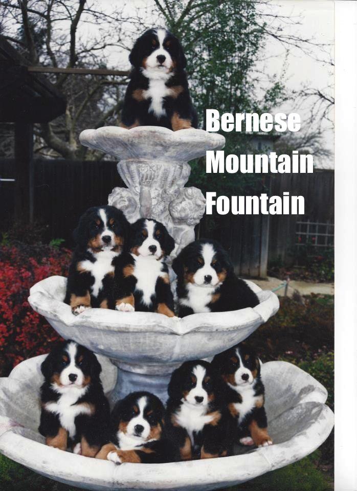 So DogGone Funny!: Bernese Mountain Fountain