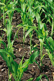 majs som monokultur