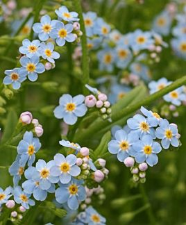 Myosotis palustris --- True or Water Forget-Me-Not. Cheerful spring bloomer for damp spots. Grows 6-12in. tall & wide. Leaves make a nice groundcover after bloom ends.