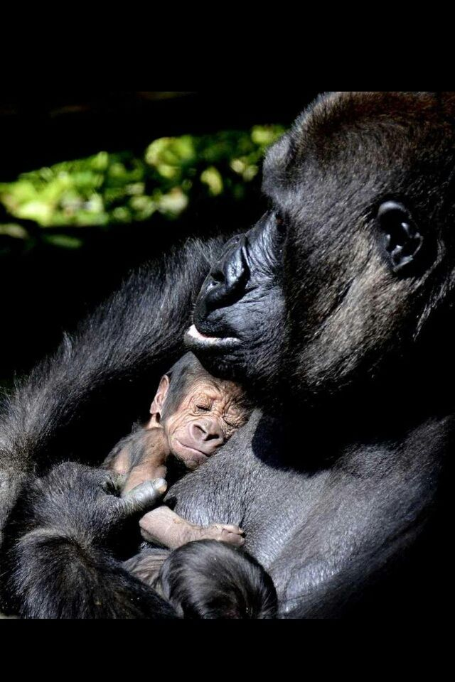 respect in gorilla my love 55 discussion posts wilhelmina said: the discussion of toni cade bambara's wonderful collection of short stories, gorilla, my love, will begin here on d.