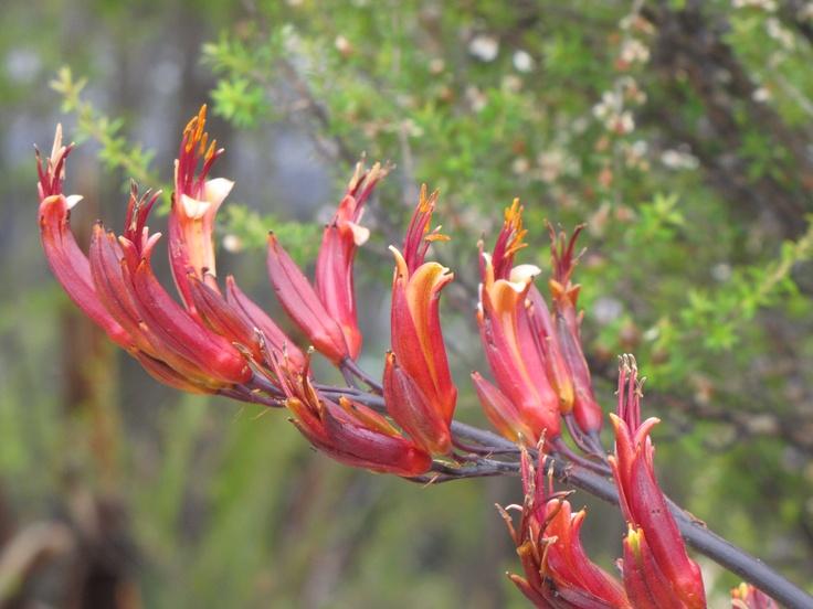 60 best images about nz plants on pinterest