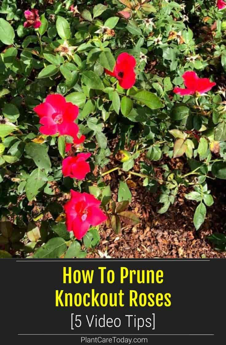 How To Prune Roses Properly Video The Whoot Trim Rose Bushes Pruning Roses How To Trim Roses
