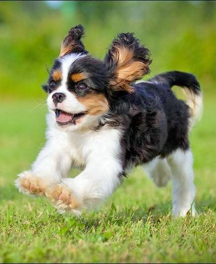 """Sometimes I wish I had brakes!"" #dogs #pets #CavalierKingCharlesSpaniels Facebook.com/sodoggonefunny"