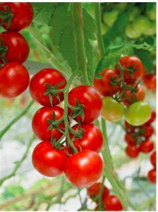 Firmamız Afyon bölgesinde sizlere organik domates üretimi sağlamaktadır. http://www.semayakas.com/organik-domates-uretimi/ #semayakas
