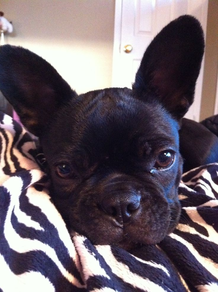 This is a Frenchton, a French Bulldog and Boston Terrier mix, and too beautiful.