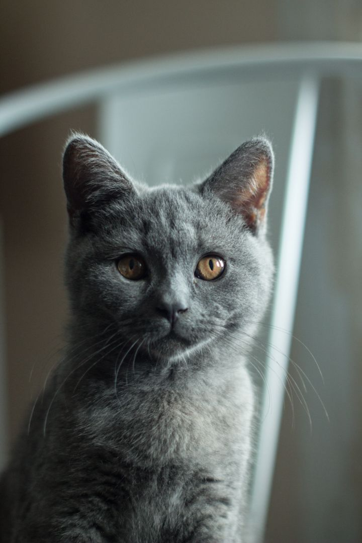 Best 25 Grey Cats Ideas On Pinterest Cat Paws