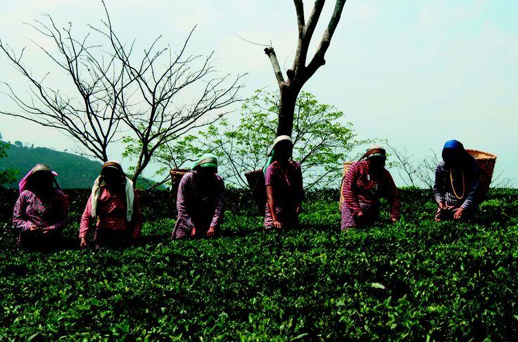 Tea pickers at the Glenburn tea estate outside of Darjeeling