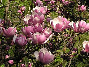 One of my very favorite trees on the planet is the purple flowering magnolia.  Mine is not going very well, but I keep it in the ground in the hope that one day, life will come and I will be rewarded for my patience!  Please God, let my little Magnolia grow and grow and flower in all her majesty?