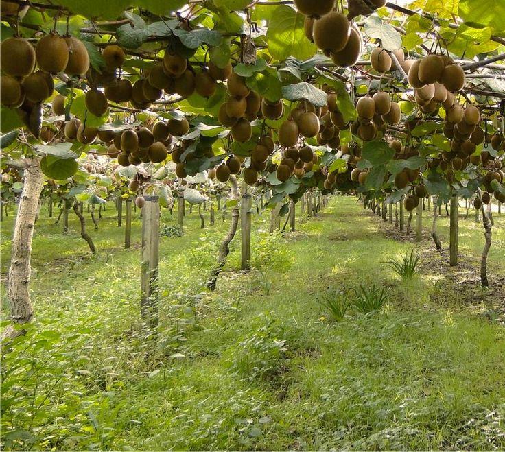 La potatura dell'actinidia come e quando potare i kiwi