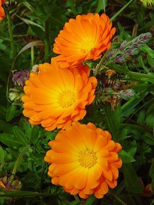 Calendulas are the flower of October. They symbolize the sun and warmth but also are associated with grief and sorrow
