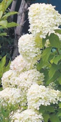 Hydrangea 'Little Lime': White Gardens, Gardens Decor, Yard, Flowers De, Flowers Hydranga, Beautiful Flowers, Spring Bloom, 1 Flowers, Landscape