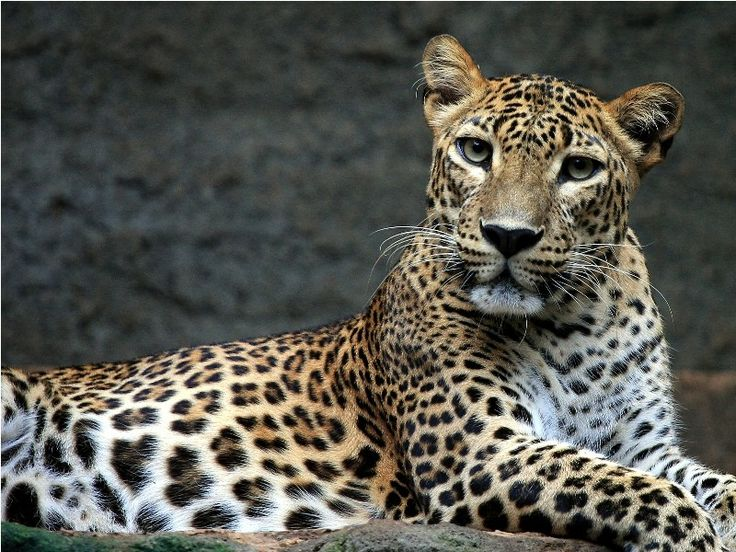 Macan Tutul by Subhan Zaki on 500px #leopard