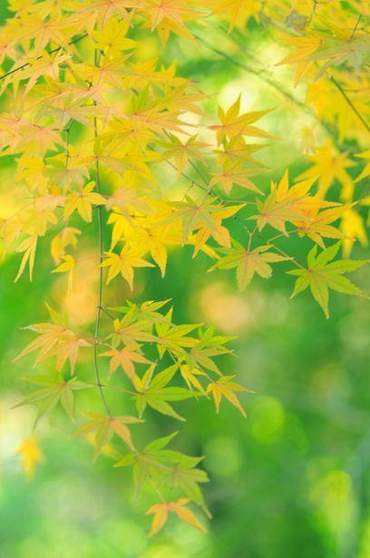 淡もみじ   植物 > 紅葉の写真   GANREF