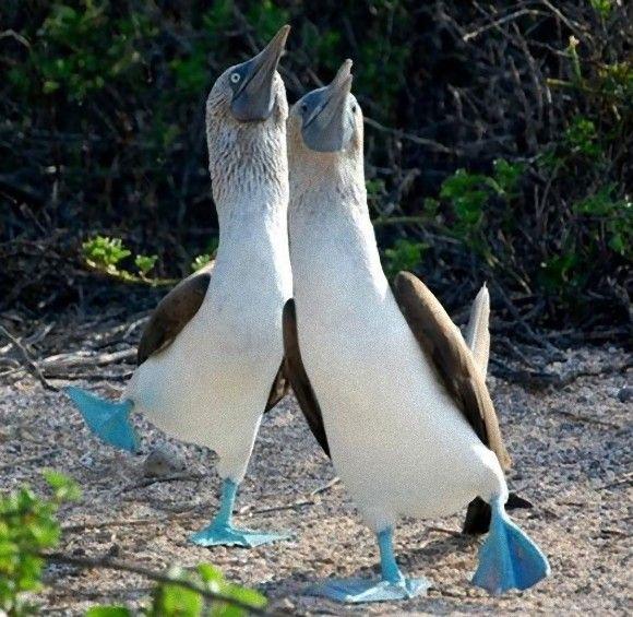 アオアシカツオドリ : なぜか足だけが鮮やかな青色なのである。その動きもゆっくりでユーモラス。だもんだから絶滅の危機に瀕しちゃっている ガラパゴス諸島などに分布するアオアシカツオドリ。英語名が「ブルーフッテド・ブービー」である。