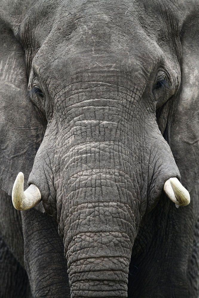 wisdom - African Bush Elephant (by Matt Bango)