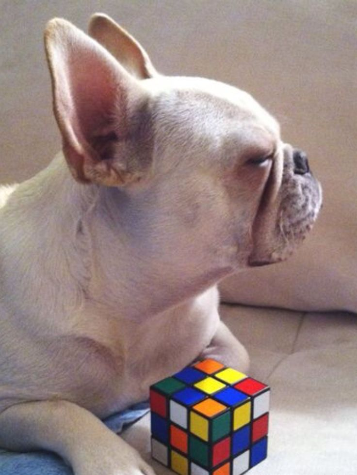 """""""Father, i am bored with this Rubiks Cube....you may bring me another toy"""", French Bulldog Puppy"""