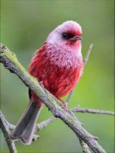 Pink-headed Warbler (Cardellina versicolor) is a small passerine bird found in the southwestern highlands of Guatemala and the central and southeastern highlands of the Mexican state of Chiapas. The adult is primarily red, with a silvery-pink head and chest.