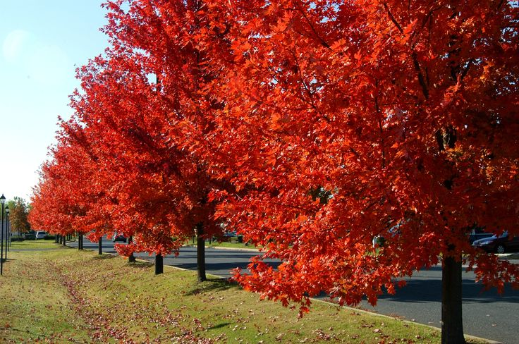 Autumn Blaze Maples: great for beginners and low maintenance!