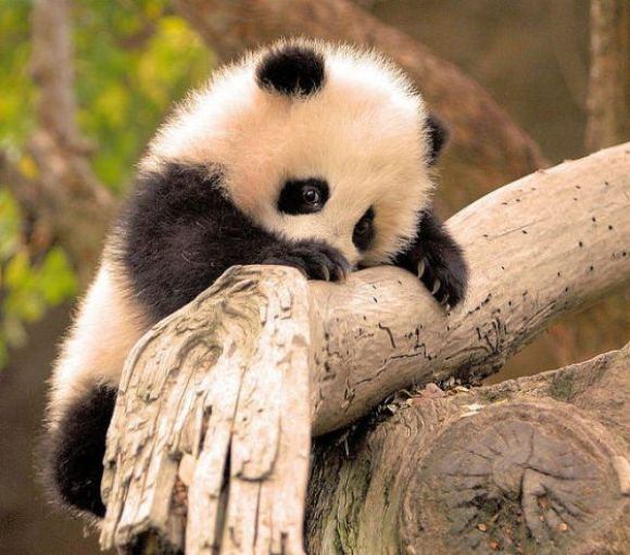 type of pandas - baby panda images and pictures the cutest animal in the world