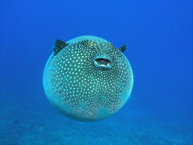 Cool tropical reef fish the puffer fish anguilla for Cool saltwater fish