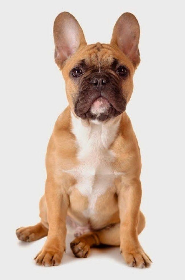 Psy rasy Buldog francuski