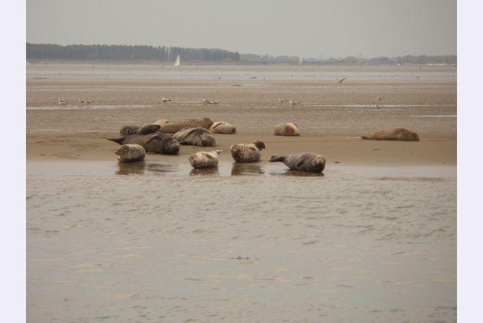 Zeehonden in de Oosterschelde op de roggeplaat