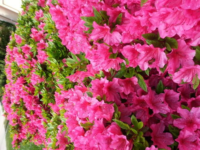 TIPS FOR AZALEA PRUNING: Pink, red and white azaleas adorn lawns across the South every spring. These shrubs are hardy and easy to care for because they thrive in many locations and conditions. Learn how to prune azaleas to keep them blooming brightly year after...