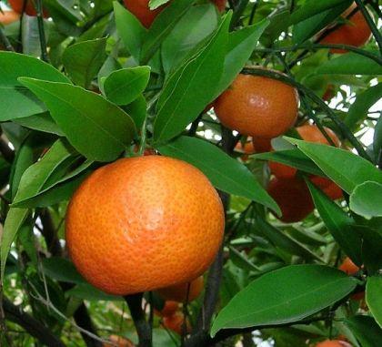 Mandarin koronás, termő fa < Utolsó darab! (Citrus reticulata): Citrusfélék | Ár: 9000.00 Ft
