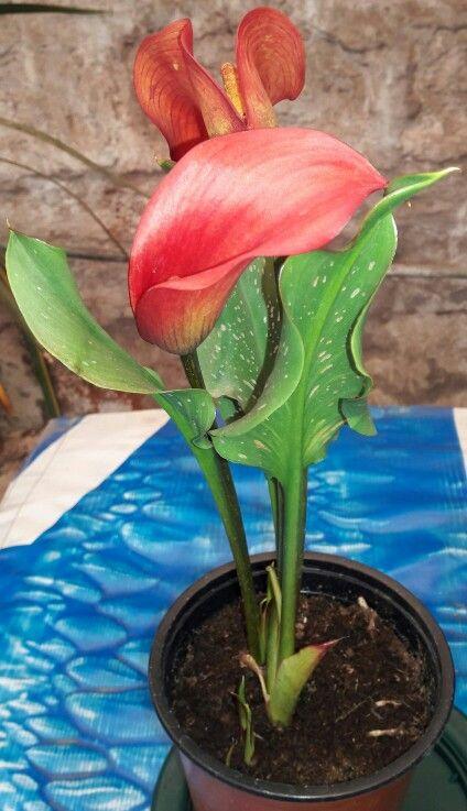 """"""" Cala De Color """" -Nombre de la Planta: Cala De Color -Nombres Alternativos: Cala -Nombre Científico: Zantedeschia sp -Origen: Sudáfrica -Altura máxima: Hasta 1 mt. (con varas en flor) -Soporta a Heladas: 0 Grados -Necesidad de Agua: Medio -Necesidad de Sol: Medio -Crecimiento: Rápido **Ficha Técnica : CALA DE COLOR (Zantedeschia). Planta tuberosa, de ciclos anuales, es decir, desaparece completamente después de florecer. Sus atractivas flores aparecen en verano, aportando mucho color al…"""