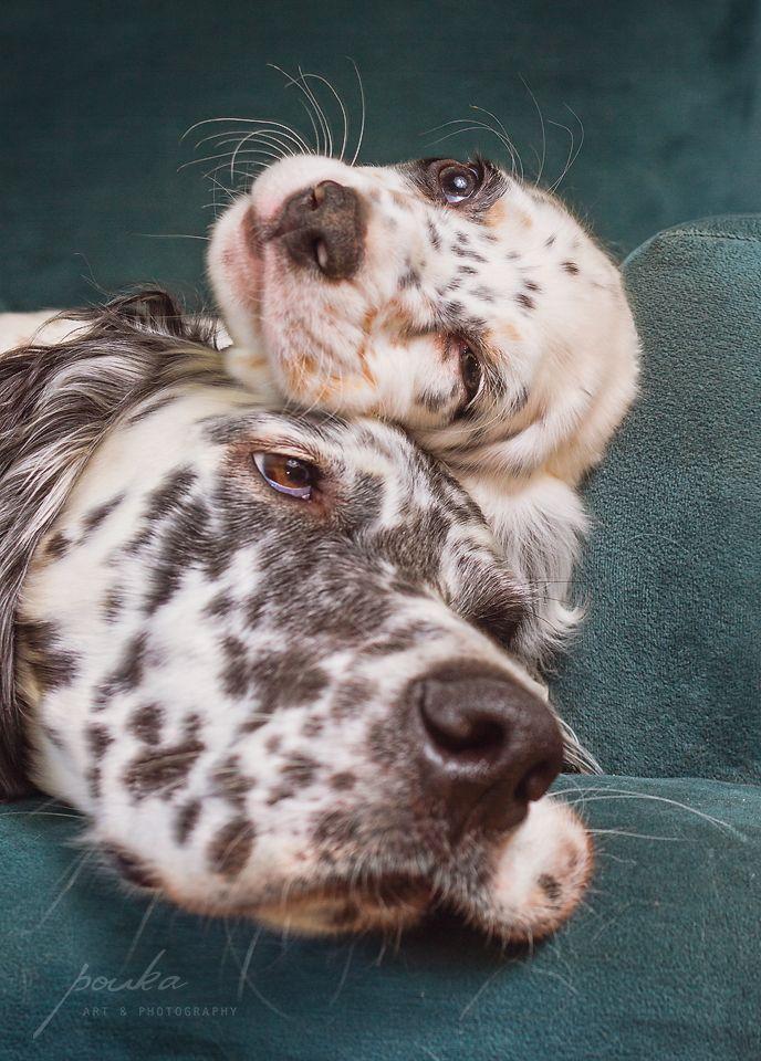 """Family"". English Setter puppy. Pet portrait. Photography. www.pouka.com"