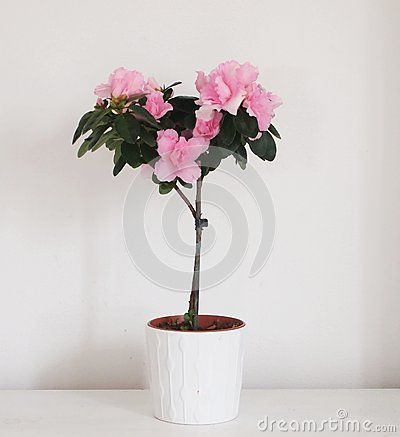 A beautiful Rhododendron simsii in a room