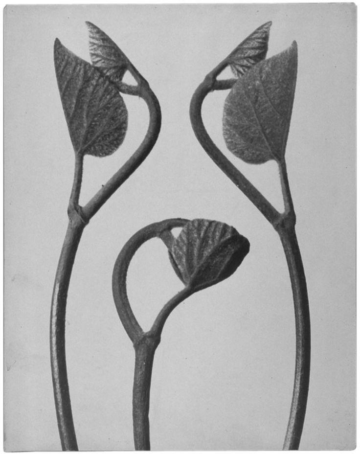 Blossfeldt Karl Aristolochia spec Osterluzeigewachs Junge Rankentriebe o J.jpg (856×1080)
