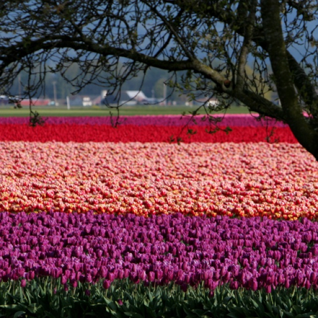 2 on the bucket list the Washington State Tulip Festival and its