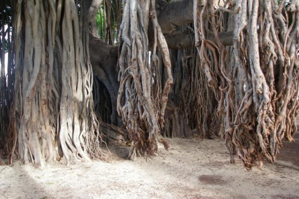Great place to plop down and read a book - under the Banyan Tree: Read A Book, Reading A Books