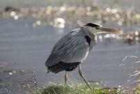 Heron in Malahide Estuary Co Dublin