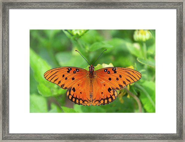 Passion Butterfly Framed Print By Debra Martz Butterfly Frame Framed Prints Poster Prints