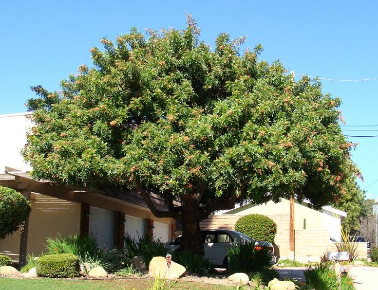 Brazilian Pepper Tree Santa Clara City Trees Pinterest