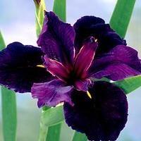 Black gamecock dwarf iris