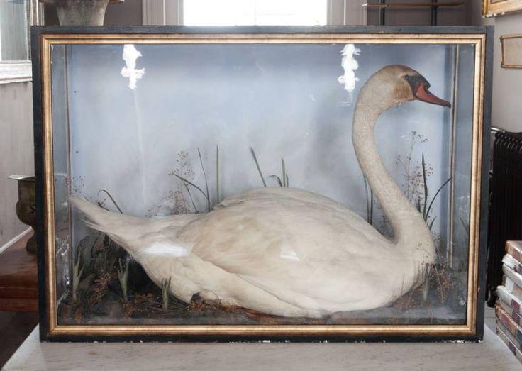 Taxidermy swan Alex Macarthur