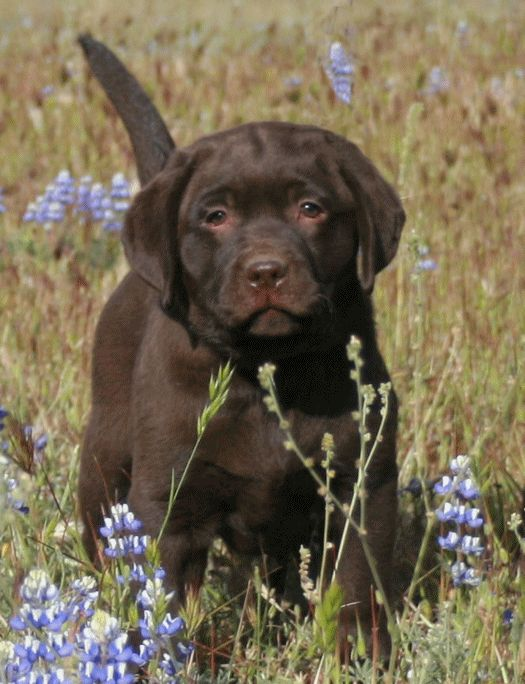 Chocolate Lab pup...I can't wait to have one! These gorgeous headed ones are killing me!