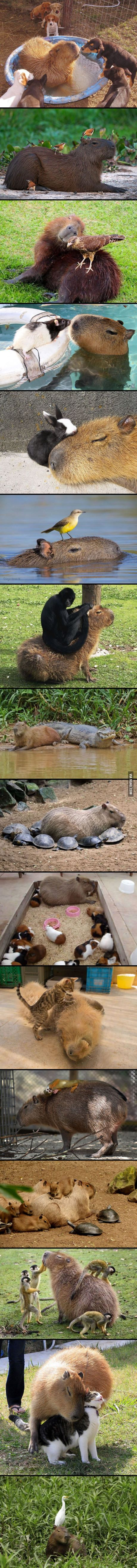 Capybaras make friends with everyone