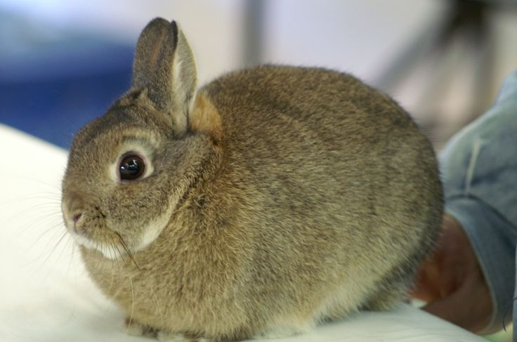 Agouti Netherland Dwarf named Andover | Bunnies | Pinterest