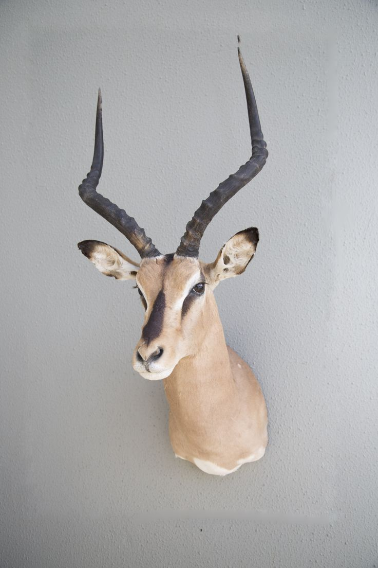 South Pacific Taxidermy Brown faced impala #taxidermy #animalart