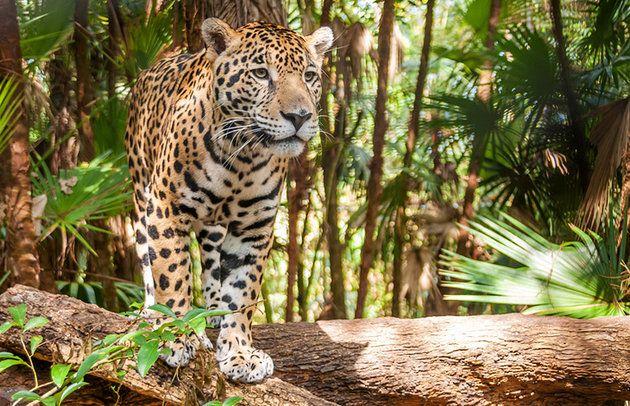 Cockscomb Basin Wildlife Sanctuary | Belize Jaguar Preserve | Belize Travel Blog