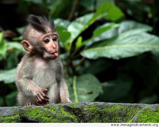 Il cucciolo di scimmia ti sta prendendo in giro