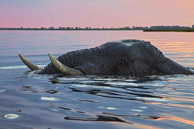 Самец слона, на закате плывущий по реке Чобе в Ботсване.