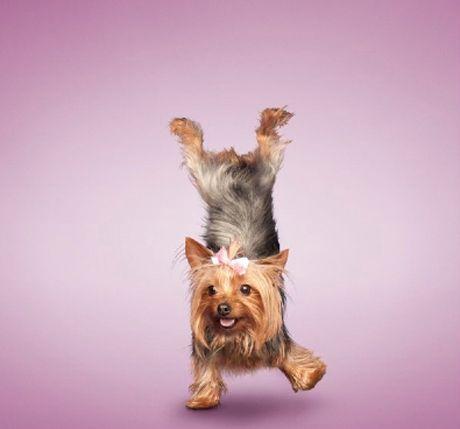 yoga-dogs-dan-borris-enpundit-8